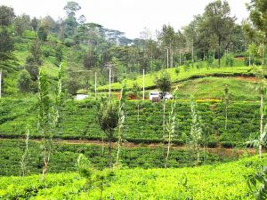 Pussellawa Rothschild Tea estate