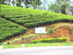 Pussellawa Rothschild Tea estate