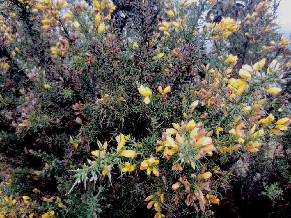 Horton_Plains_Flowers_Nuwara_Eliya