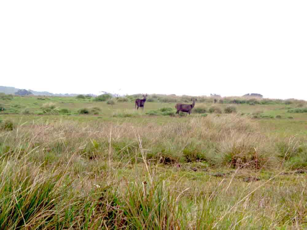 Sambar_Deer_Horton_Plain_Sri_Lanka1