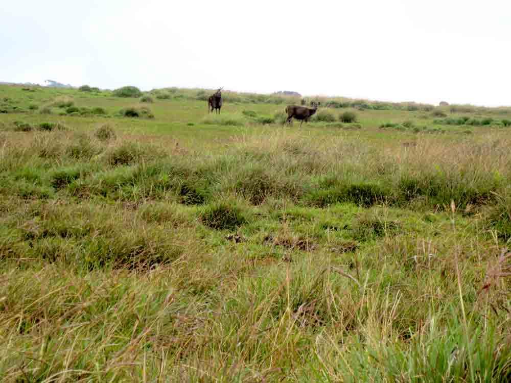 Sambar_Deer_Horton_Plain_Sri_Lanka3