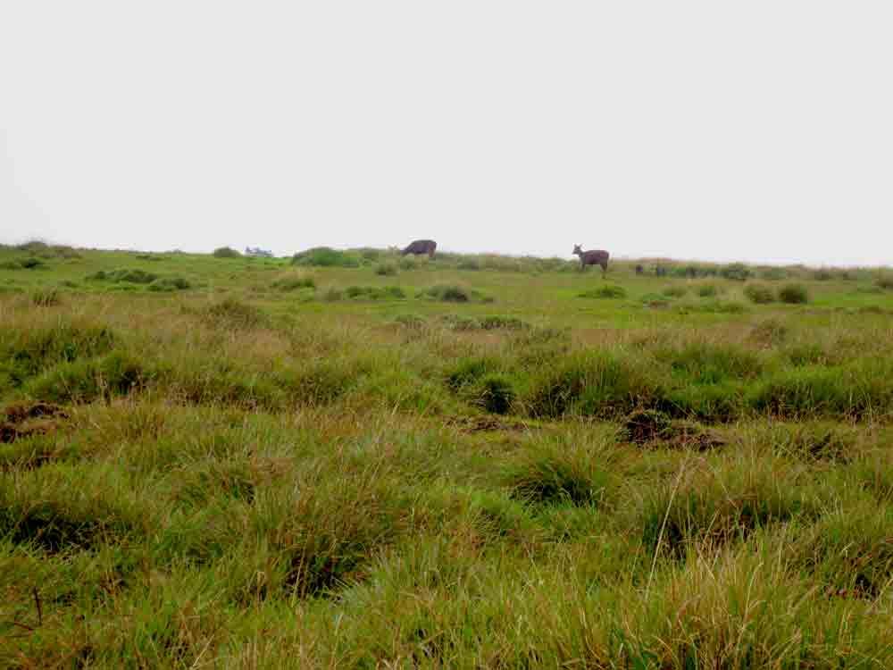 Sambar_Deer_Horton_Plain_Sri_Lanka4