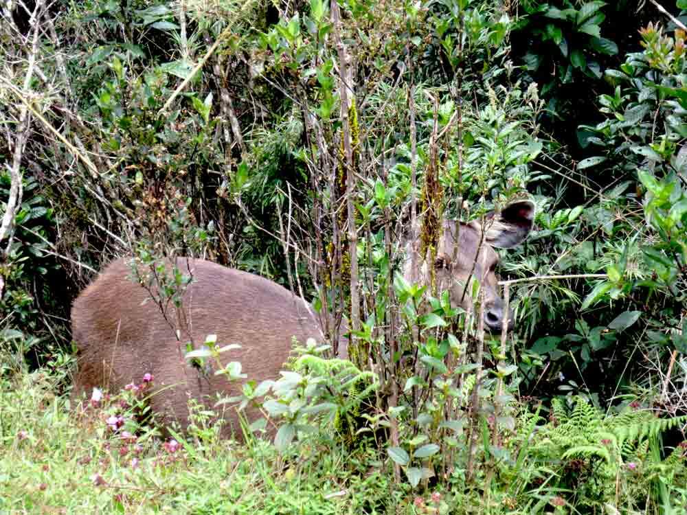 Sambar_Deer_Horton_Plain_Sri_Lanka5