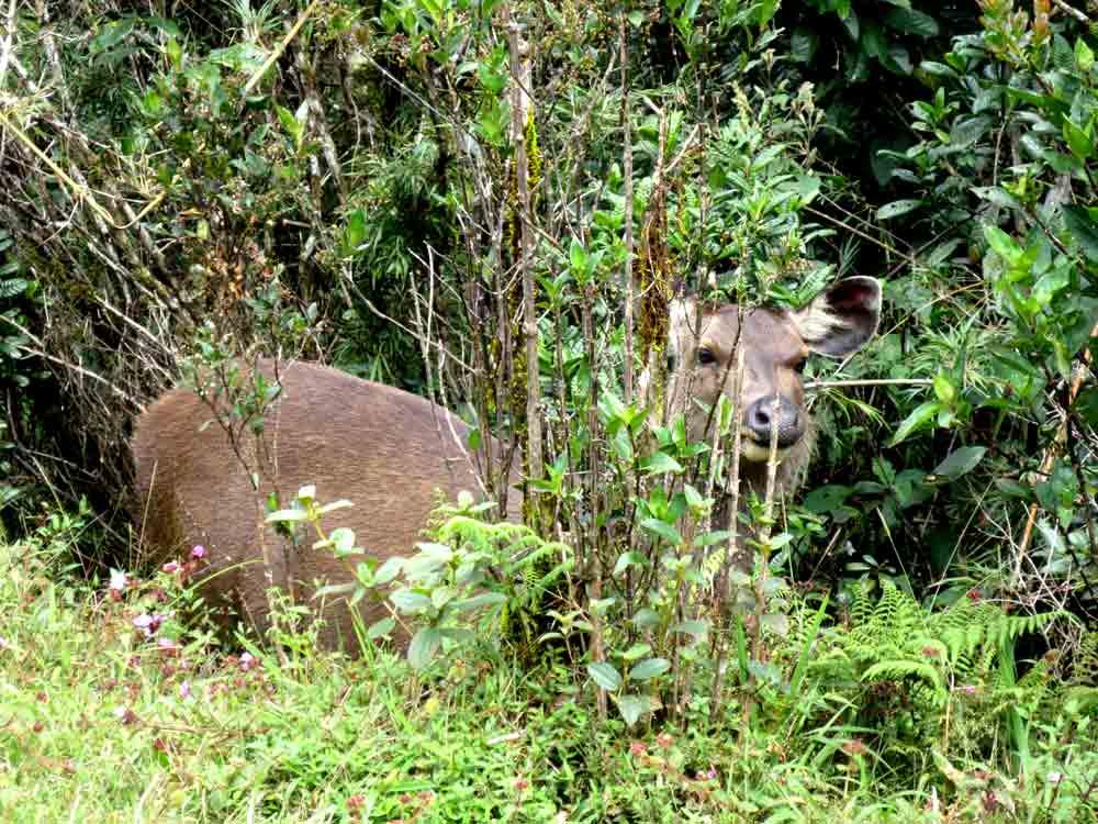 Sambar_Deer_Horton_Plain_Sri_Lanka6