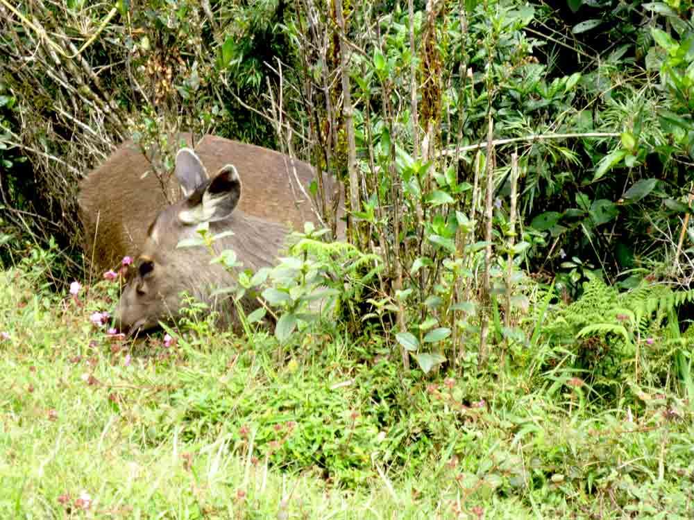 Sambar_Deer_Horton_Plain_Sri_Lanka7