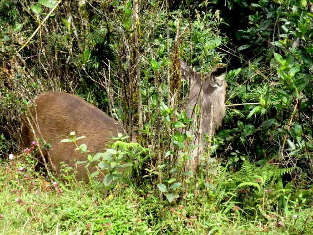 Sambar_Deer_Horton_Plain_Sri_Lanka8