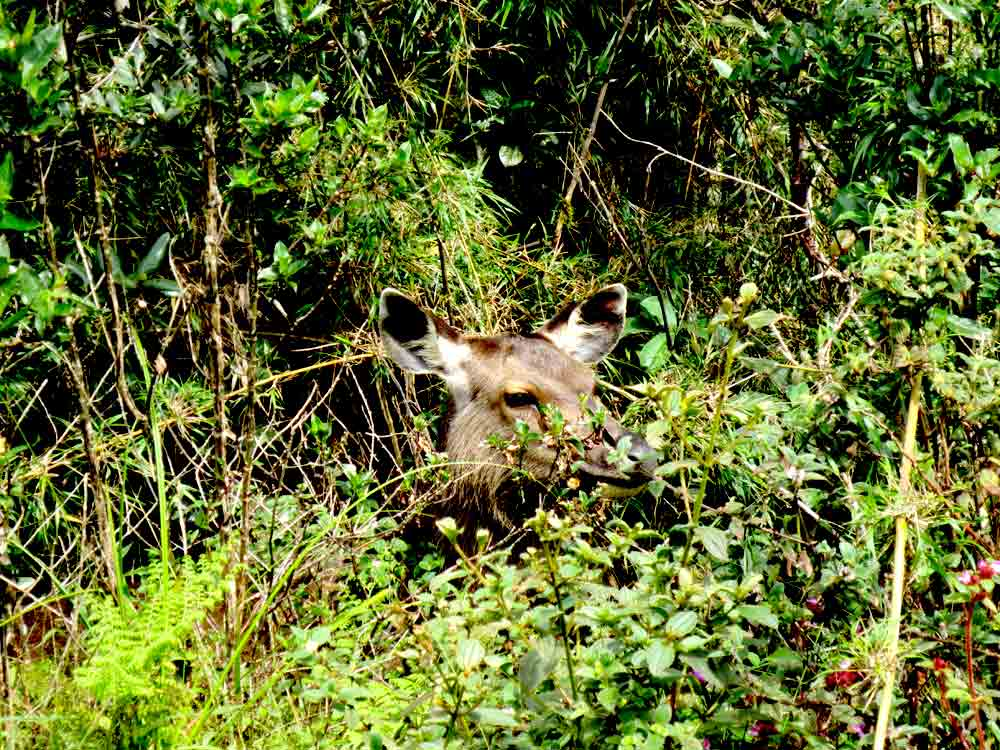 Sambar_Deer_Horton_Plain_Sri_Lanka9
