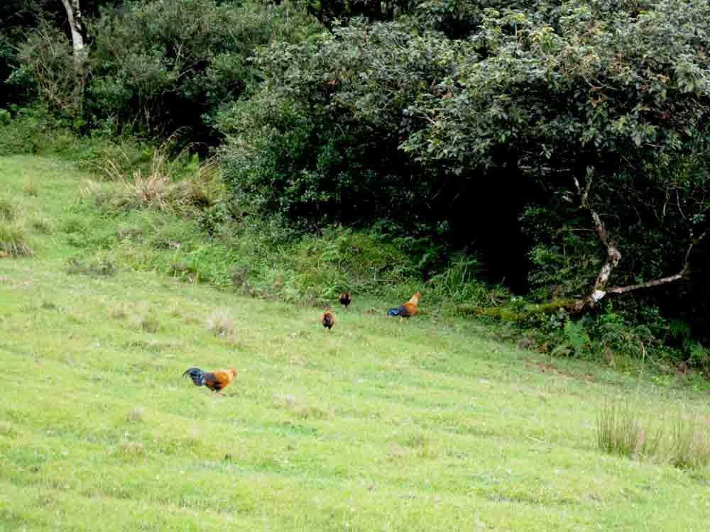 Sri_Lanka_Junglefowl_horton_Plain1