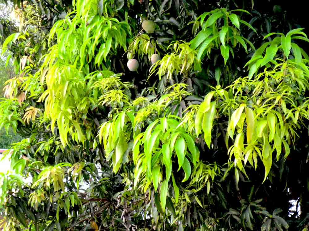 Jaffna Mango Tree