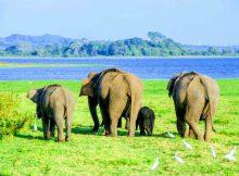 UDAWALAWE NATIONAL PARK ELEPHANTS