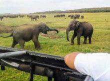 Elephant Safari in Minneriya National Park (1)