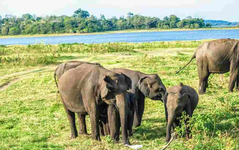 Elephants gathering & Baby Ehephant in Minneriay National park