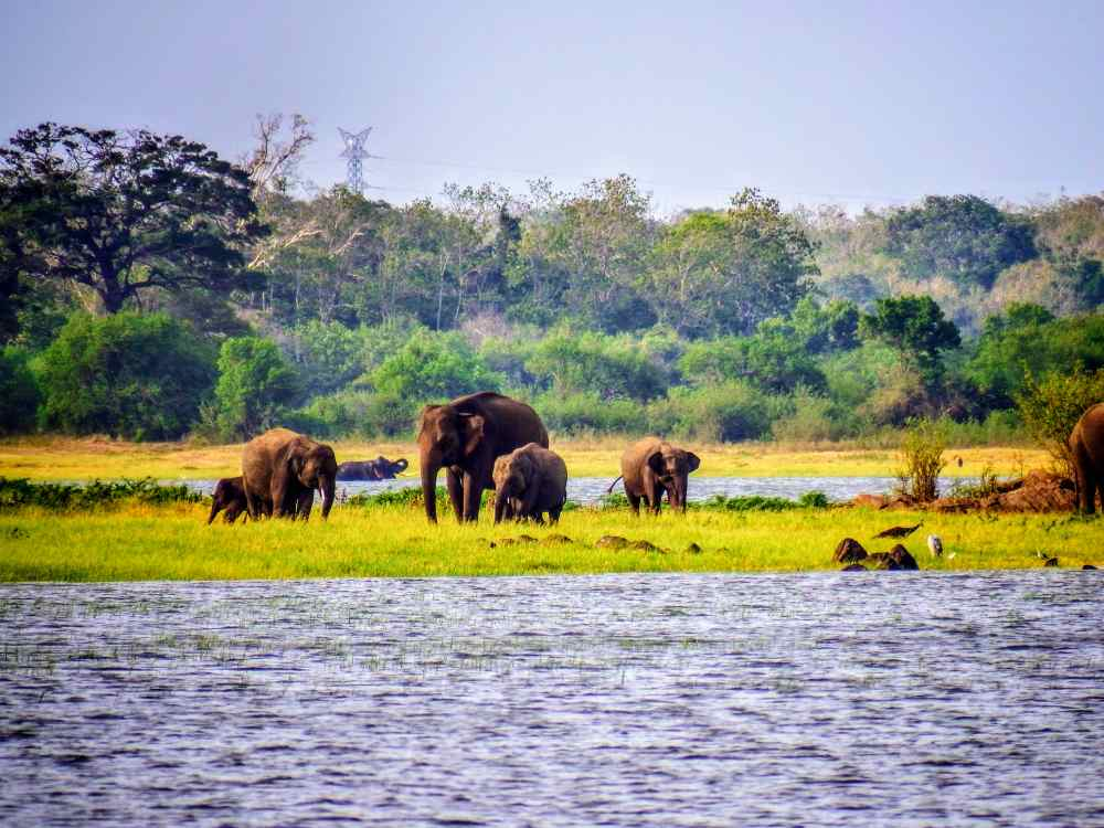 Elephants are drinking water in minneriay anational park (1)